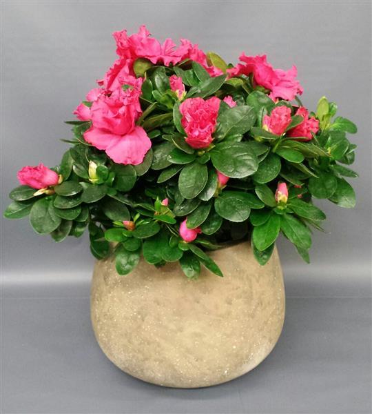 Pink azalea pot mightylinksfo